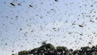 Survey, spray operations underway to control locust countrywide: NDMA Pakistan